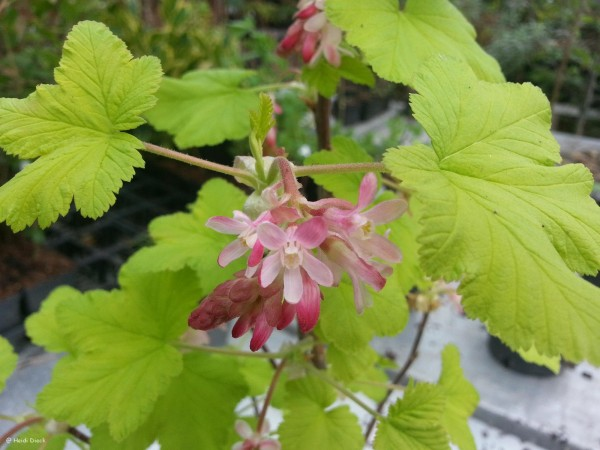 Ribes sanguineum Brooklebankii