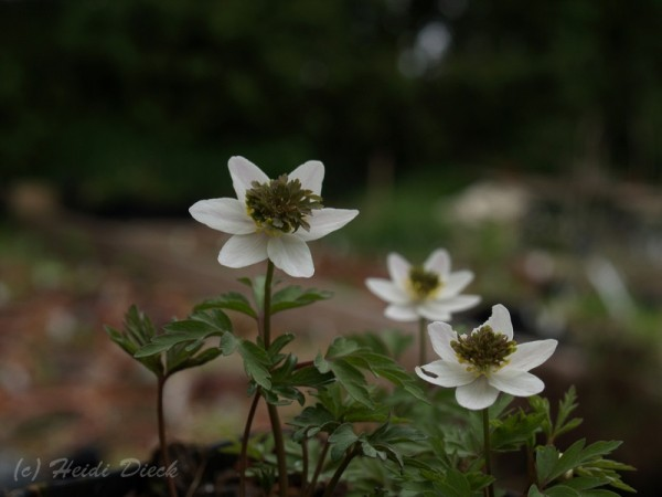 Anemone nemorosa Green Dream