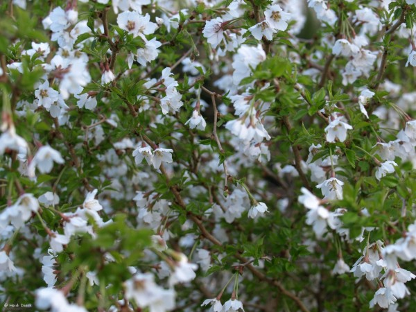Prunus incisa 'Kojo-no-mai'