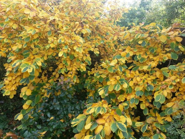 Hamamelis Lombards Weeping