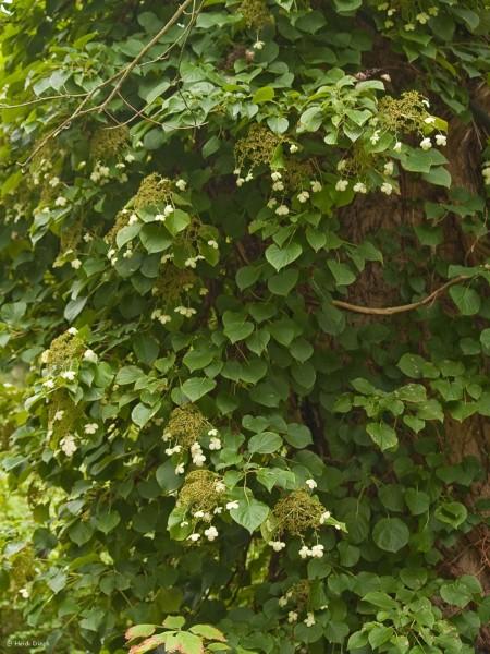 Hydrangea petiolaris (syn.: H. anomala ssp. petiolaris)