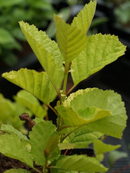 Alnus glutinosa 'Aurea'