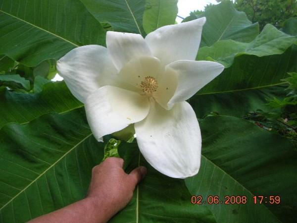 Magnolia macrophylla ssp ashei
